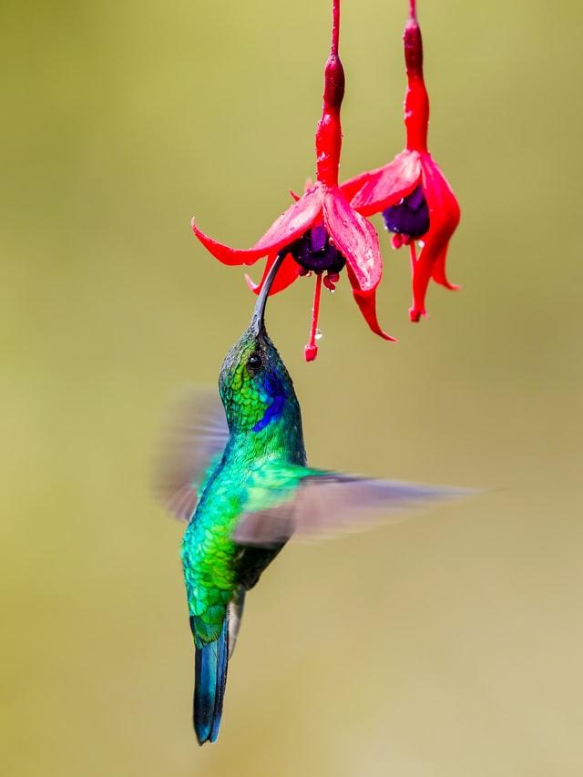 hummingbird goddess flora